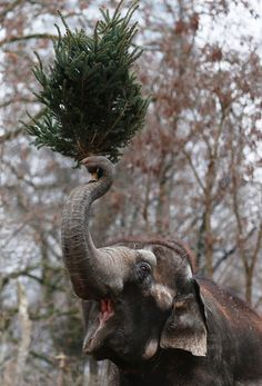 Awesome Animal Photos Of 2013: An Elephant munchs on Christmas trees in her enclosure at Berlin's Zoologischer Garten zoo on January 4, 2013 in Berlin, Germany. Traditionally, the animals get in the first week of the year leftover Christmas trees.