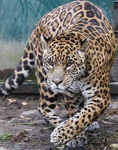 father of the white jaguar cubs