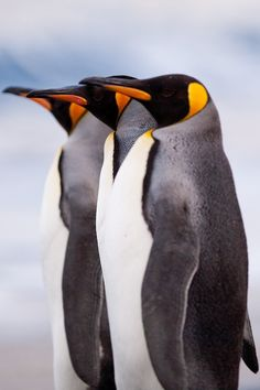 Three in a row.  Beautiful Penguins