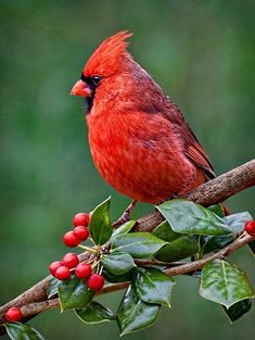 30 Ideas for red bird crafts cardinals Pretty Birds, Love Birds, Beautiful Birds, Animals Beautiful, Cute Animals, Beautiful Pictures, Cardinal Birds, Bird Crafts, Bird Pictures