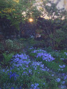 Wild Blue Woodland Phlox- Copyright Michaela Harlow thegardenerseden.com