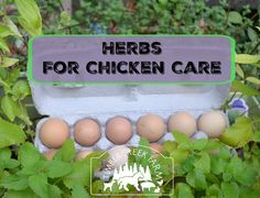 Herbs in chicken care is an idea receiving more coverage lately.Growing herbs for chicken care pairs easily with growing food for your family.Grow the same