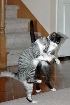Cats with sound effects video cılğın dostlar красивые кошки, Funny Cat Videos, Funny Cats, Funny Animals, Cute Animals, Animal Gato, Dancing Cat, Gatos Cats, Beautiful Cats, Crazy Cats