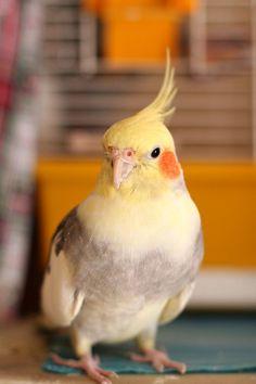 Советы по выбору попугая от заводчика с опытом