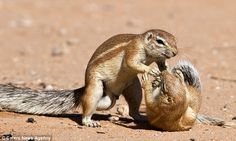 Grapple: Photographer Francois Loubser, 40, captured the images of the striped ground squirrels fighting in Kgalagadi, South Africa. Source: Daily Mail