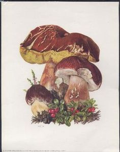 Vintage Botanical Print, Set of 6 Mushroom Illustrations, Boletus Fungi From a collection of fungi lithographs published in Original Vintage Botanical Prints, Botanical Drawings, Botanical Art, Vintage Prints, Mushroom Drawing, Mushroom Art, Fungi, Illustration Botanique Vintage, Impressions Botaniques