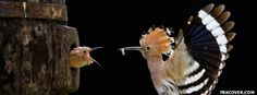 Mother Feeds Her Chick Facebook Covers