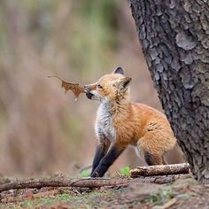 Red Fox Cub by Melissa Groo                                                                                                                                                                                 More