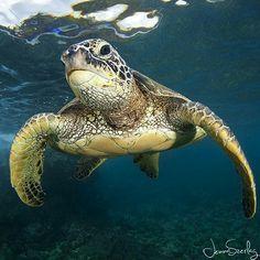 Sea Turtle by Jenna Szerlag Cute Baby Turtles, Sea Turtles, Sea Turtle Wallpaper, Sea Turtle Pictures, Dog Jokes, Tortoise Turtle, Turtle Love, Turtle Painting, Super Cute Animals