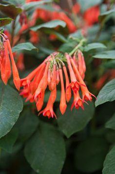 Fuchsia 'Coralle' (T) | /RHS Gardening