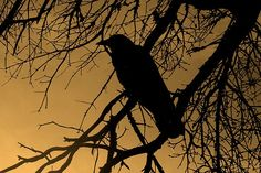 creepy crows | creepy crow images - Google Search