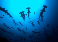 Some hammerhead species travel in large schools of up to 500 sharks or more.
