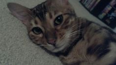 Presley, my baby bengal.