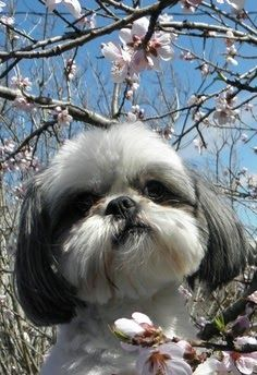 Health Problems in Shih Tzu Dogs Click the picture to read