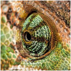 Chameleon (Chamaeleo calyptratus)  by Rob Smit on 500px Macro Micro Close up Reptiel Reptielen Reptile Reptiles Color Natuur Nature Wild Wildlife Dieren Animals Copyright: freezefotografie@gmail.com Foto door: Rob Smit www.facebook.com/freezefotografie www.freezefotografie.com