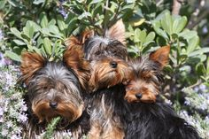 Yorkshire Terrier.your three are cuter than these!