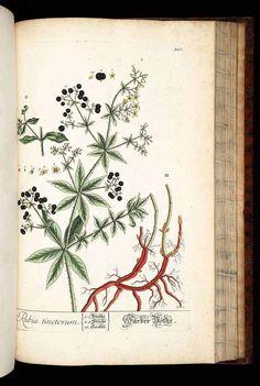 77866 Rubia tinctorum L. [as Rubia tinctoria Salisb.]  / Blackwell, E., Herbarium Blackwellianum, vol. 4: t. 326 (1760)