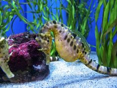 http://www.washingtonpost.com/national/health-science/farming-aquarium-species-to-save-them/2012/04/15/gIQAvYxfJT_story.html  these lovely, gentle creatures MUST be protected! do NOT puchase dried seahorses killed for the tourist trade, & when found in the sea, leave them to their gentle lifestyle & don't disturb them! honor these exquisite, gentle creatures before we lose them forever!