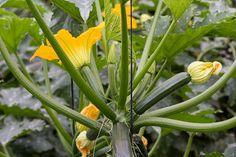 Cukkini (Cucurbita) termesztése, gondozása: a sokoldalúan használható zöldség edényben is nevelhető, de igen terebélyes, ezért