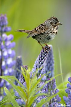 Lincoln's Sparrow perched on a Nootka Lupine, Alaska