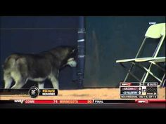 Husky Runs on the Field During CS Fullerton vs. Arizona State Game - YouTube video #dog #pet