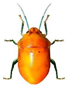 Augocoris illustris