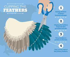 Raising Backyard Chickens: Clipping the Feathers