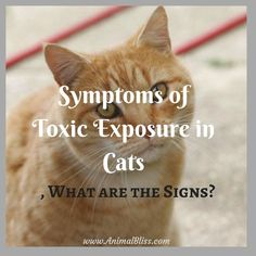 Symptoms of Toxic Exposure in Cats, What are the Signs? Do you know the symptoms of toxic exposure in cats? Learn to recognize some of the warning signs that your pet may have been exposed. Cat Care Tips, Dog Care, Cat Info, Kitten Care, Animal Nutrition, Companion Dog, Go Outdoors, Outdoor Cats, Cat Behavior