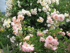 """Le jardin de Chêneland: Le rosier """"Sourire d' Orchidée"""""""