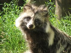 Marderhund – Wikipedia