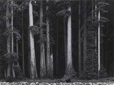 Redwoods, Bull Creek Flat, California, c. 1960. Ansel Adams original print