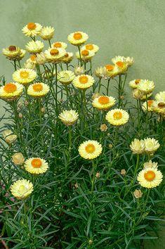 Lomandra, Daisy Field, Snow In Summer, Agapanthus