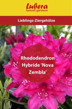 Unsere Rhododendron Hybride 'Nova Zembla' ist nicht nur eine Augenweide in jedem Garten, sie ist zusätzlich noch winterhart und immergrün! Mehr Infos und Tipps finden sie in unserem Shop ↓  ↓  ↓ _______________________________________________________ #Rhododendron #garten #pflanze #gärtnern #lubera #winterhart #gartengestaltung #dekoideen #blüten #rubinrot Nova, Blog, Ruby Red, Decorating Ideas, Plants, News, Tips, Blogging
