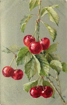 Cherries on branch. Possibly unsigned Catherine Klein postcard. Circa 1905.