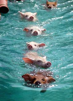 emerald bay, bahamas is where pigs have their own island and swim up to your boat!