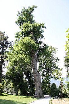 Il PINO Messicano, conosciuto anche come Montezuma Pine, presente sull'Isola Madre a Stresa, raggiunge i 27 m di altezza