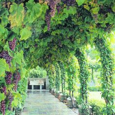 Grape-covered walkway with trumpet vines for evergreen, year-round foliage