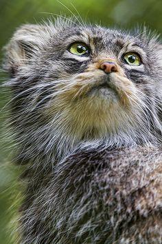 Pallas cat looking upwards