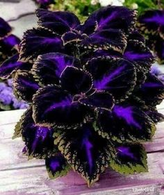 Coleus plant care and propagation is relatively easy compared to other plants. The plant is not only beautiful but also easy to maintain. Coleus has. Black Flowers, Exotic Flowers, Beautiful Flowers, Colorful Flowers, Pink Flowers, Container Plants, Container Gardening, Container Flowers, Herb Gardening