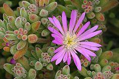 Drosanthemum floribundum (from CalPhotos)