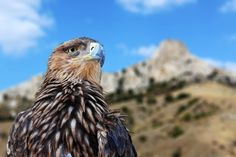 On wind and a thermal, soaring habits of the Golden Eagle (Aquila chrysaetos)