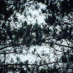 Pine lace #everydayalittlewonder