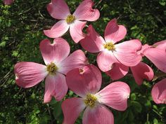 Pink Dogwood, one of my favorites...Springtime in Bella Vista, AR