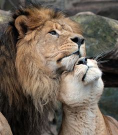 🦁If you Love Lions, You Must Check The Link In Our Bio 🔥 Exclusive Lion Related Products on Sale for a Limited Time Only! Tag a Lion Lover! 📷:Please DM . No copyright infringement intended. All credit to the creators. Animals And Pets, Baby Animals, Funny Animals, Cute Animals, Royal Animals, Wild Animals, Beautiful Cats, Animals Beautiful, Big Cats