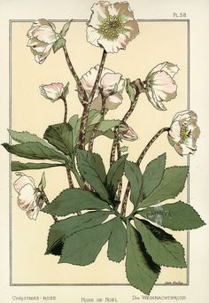 Christmas Rose (hellebore) by Anna Martin | Eugene Grasset Pochoir Prints 1896