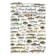 Freshwater Fishes of the New England & the Adirondacks Poster by Robert Werner