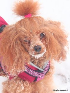 miniature poodle red winter dog
