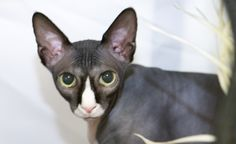 Jaxx-the-sphynx-cat-hiding-in-his-house-at-the-cat-show