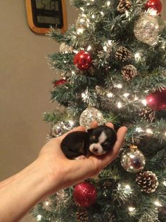 Puppy's first Christmas :)
