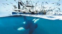 Tehlikeli yakınlaşma: Finalistlerden Norveçli fotoğrafçı Audun Rikardsen'in çektiği fotoğraf Norveç Denizi'ndeki katil balinalar ile balıkçı tekneleri arasındaki ilişkiyi ele alıyor. Orka olarak da bilinen bu deniz memelisi balıkçı teknelerinin sesini takip ederek büyük balık sürülerini keşfetmeyi öğrendiği için sık sı...